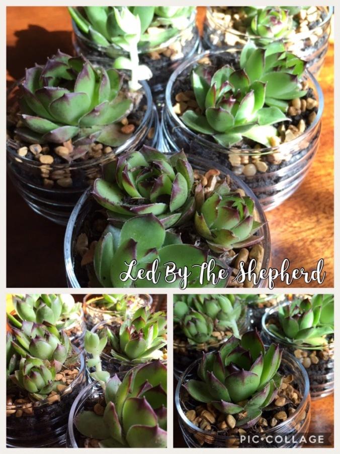 Teacher Appreciation Gift - Potted Succulents